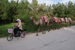 """Hier werden die Kamele """"Gassi"""" gefahren."""