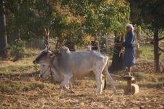 Feldarbeit nach alter Schule - Myanmar