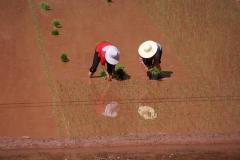 Reis anpflanzen