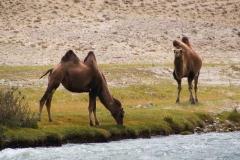Kamele auf der afganischen Seite des Grenzflusses auf 3700m