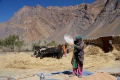 Erntezeit in Zanskar