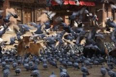 Die heiligen Kuehe lassen sich von den Tauben nicht aus der Ruhe bringen