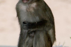 Affe bei den Tempeln von Sambor