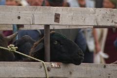 Endet das Schaf bald als Schaschlik auf dem Grill oder gibt es nochmals saftiges Gras auf der Weide?