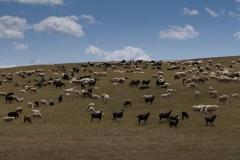 Schafe und Geissen soweit das Auge reicht