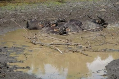 Wasserbüffel am dösen