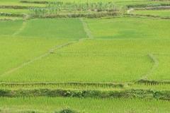 Schöne Reisfelder inmitten der zahlreichen Brandrohdungsgebiete.