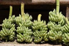 Bananen zu verkaufen.