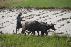 Wasserbüffel werden für die Feldarbeit eingesetzt.