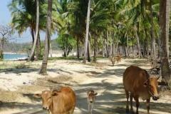 Kühe im Strandparadies