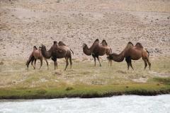 Kamele auf der afganischen Flussseite auf 3700m