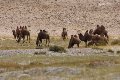 Mehr Kamele